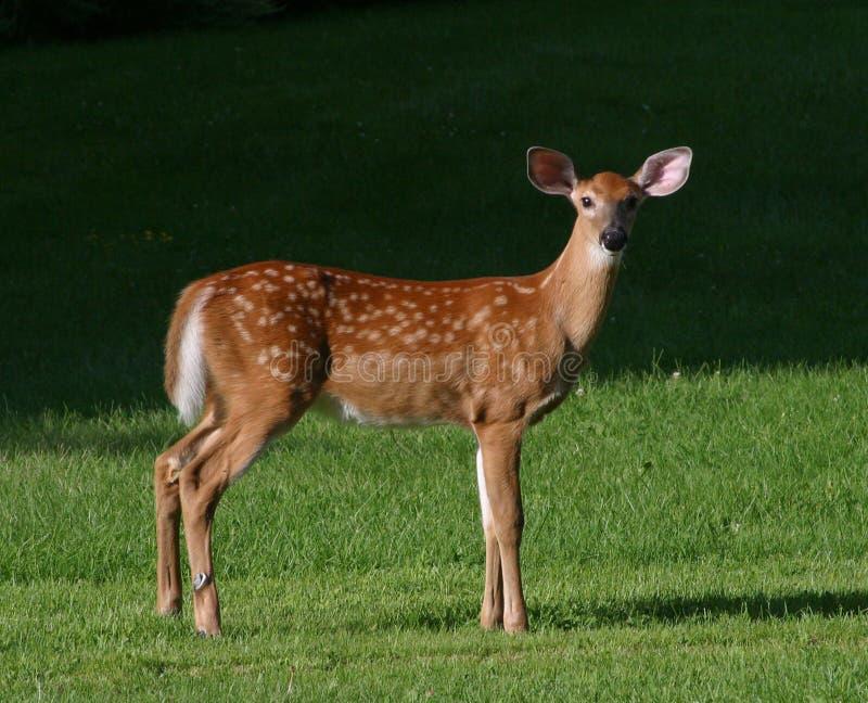 Jovem corça dos cervos de Whitetail foto de stock