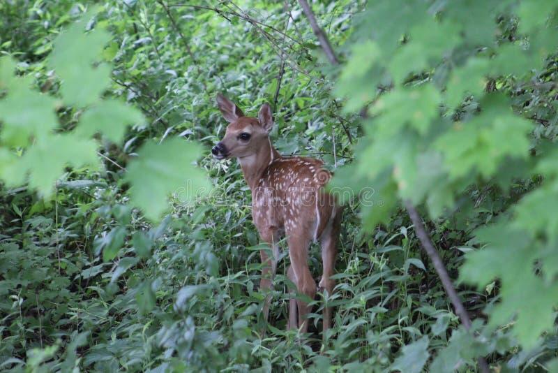 Jovem corça dos cervos de Whitetail imagens de stock royalty free