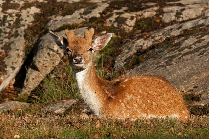 Jovem corça nova de 1 ano dos gamos, em uma floresta na Suécia imagens de stock