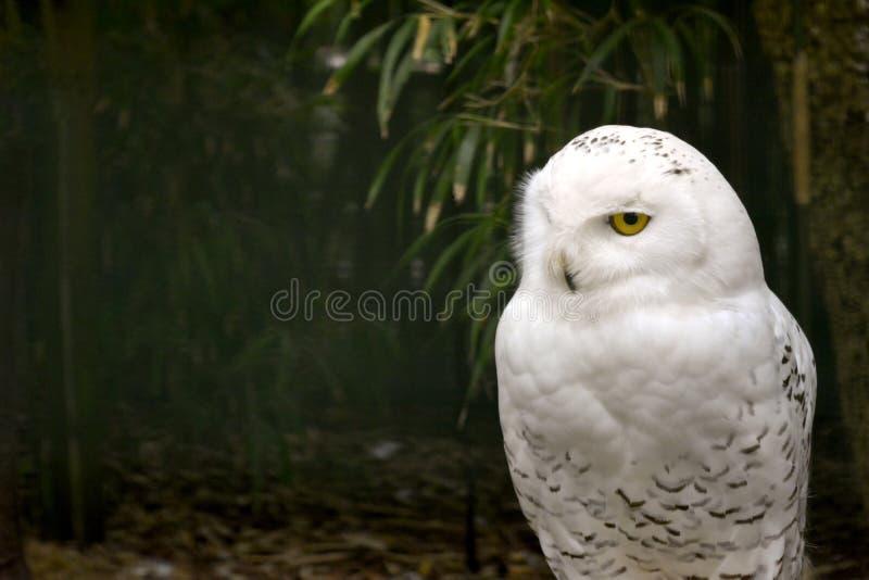 Jovem Coruja Captiva de Neve - Bubo scandiacus foto de stock