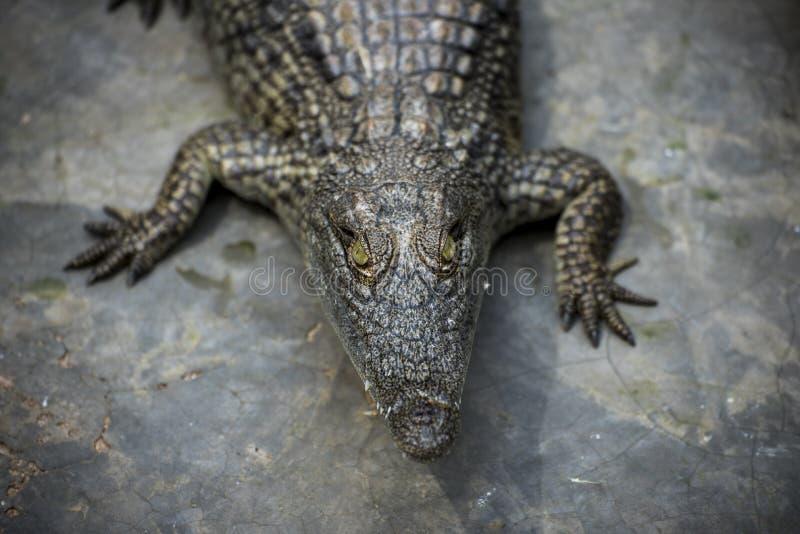 Jovem Crocodilo estrelando câmera no Crocodile Park, Uganda fotos de stock royalty free
