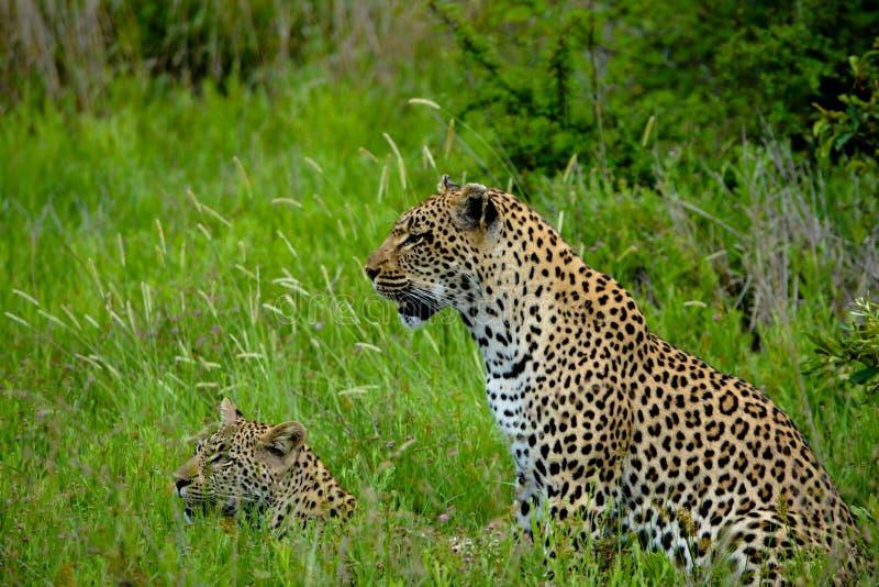 Jovem de ensino do leopardo a caçar imagem de stock