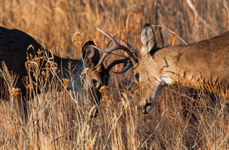 Jovem Mule Deer Bucks Sparing imagens de stock royalty free