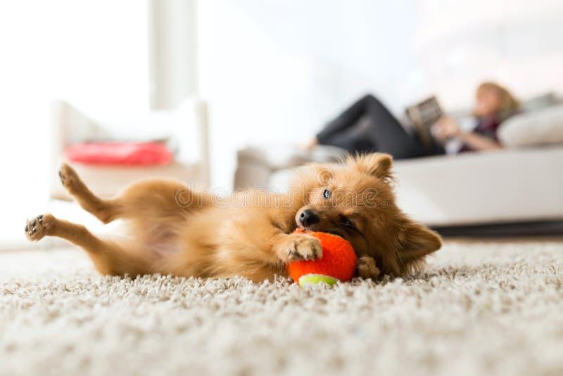 Jovem mulher bonita com seu cão que joga com bola em casa imagem de stock