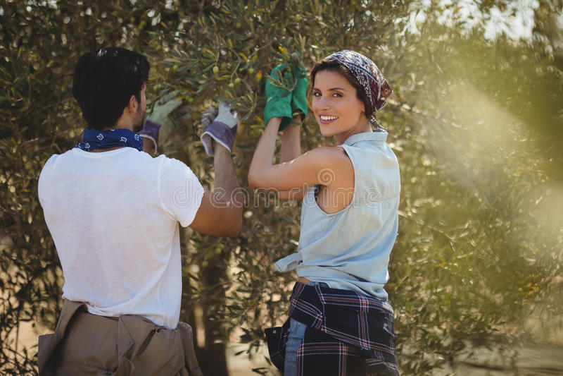 Jovem mulher de sorriso com o homem que arranca azeitonas na exploração agrícola foto de stock royalty free
