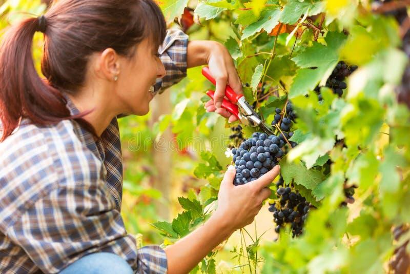 Jovem mulher de sorriso feliz que escolhe grupos de uvas foto de stock royalty free