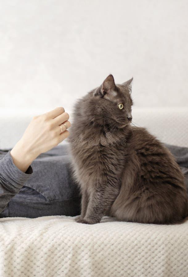 A jovem mulher está descansando em um sofá com seu gato bonito cinzento macio foto de stock