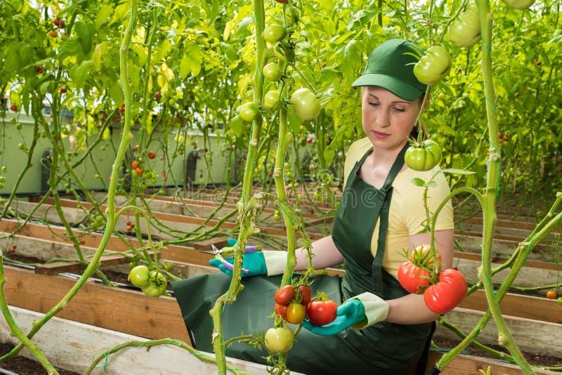 Jovem mulher feliz no uniforme, tomates frescos dos cortes em uma estufa Trabalho em uma estufa foto de stock royalty free