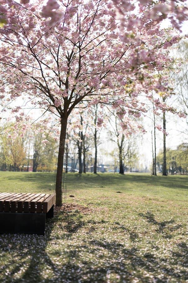 Jovem mulher loura bonita no parque de Sakura Cherry Blossom na mola que aprecia a natureza e o tempo livre durante ela que viaja imagem de stock royalty free