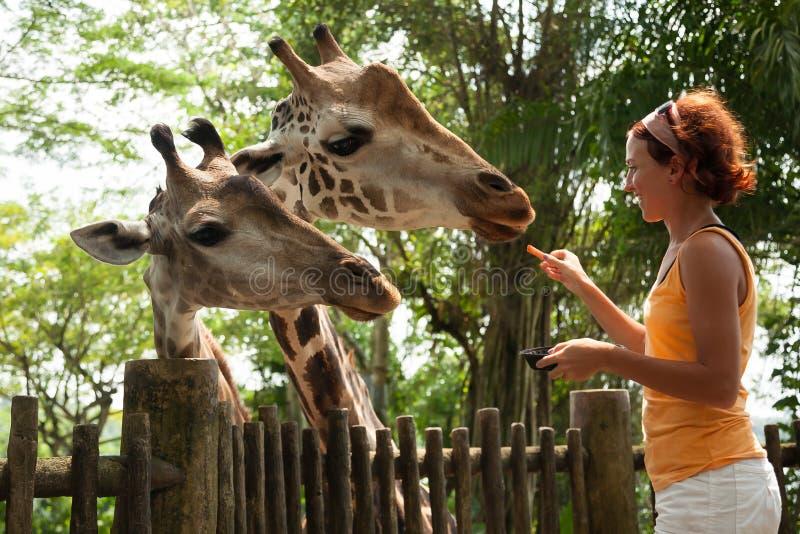 Jovem mulher que alimenta um girafa foto de stock royalty free
