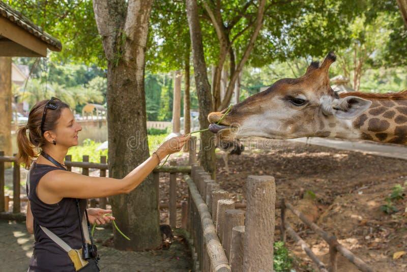 Jovem mulher que alimenta um girafa no jardim zoológico imagens de stock