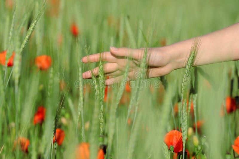 Jovem mulher que anda no close up verde da mão de campo do trigo imagem de stock