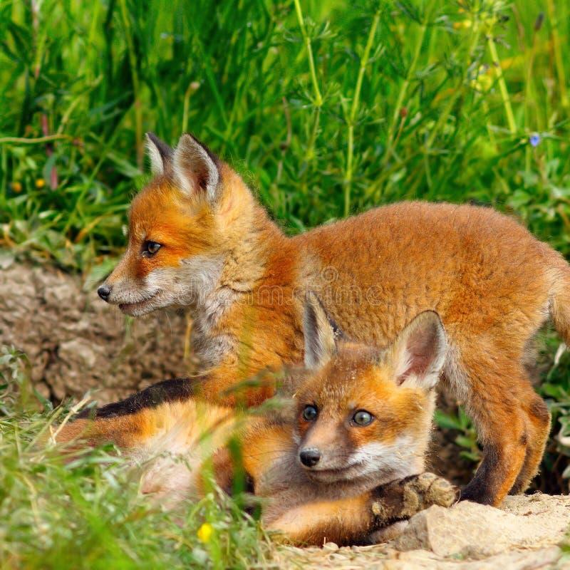 Jovem selvagem europeu da raposa imagens de stock royalty free