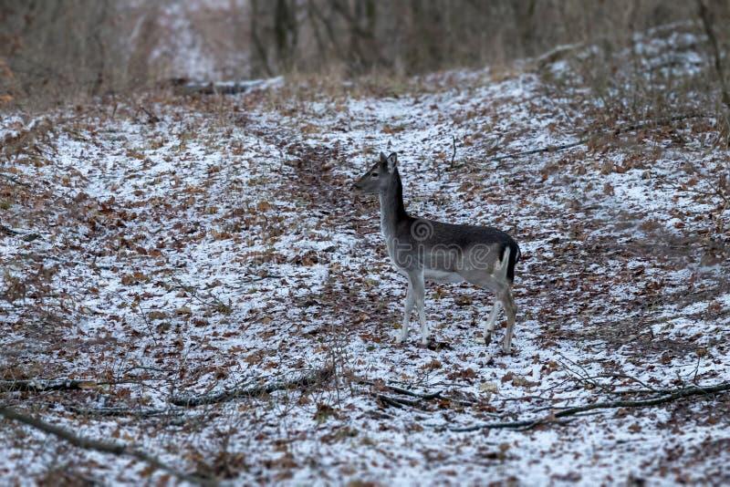 Joven de los ciervos en barbecho en bosque del invierno foto de archivo