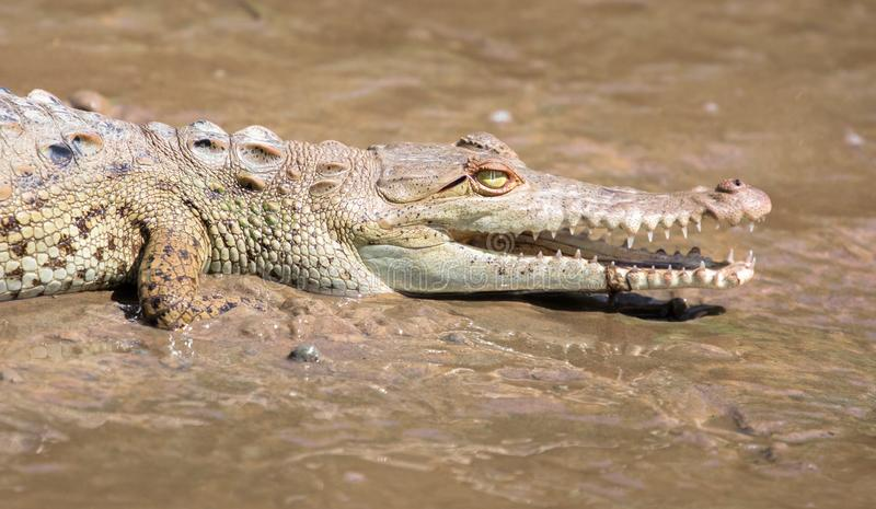 Joven del acutus del Crocodylus del cocodrilo americano imagen de archivo libre de regalías