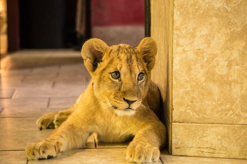 Joven del rey del león fotografía de archivo