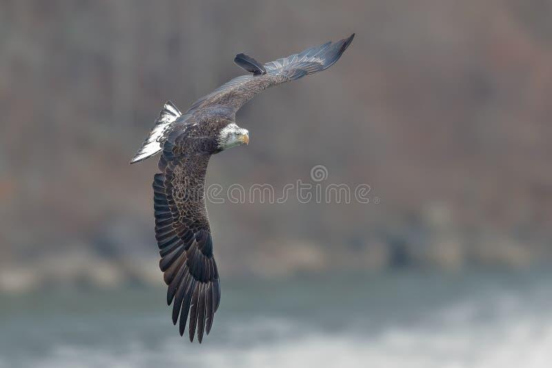 Joven Eagle Banking calvo en vuelo fotografía de archivo libre de regalías