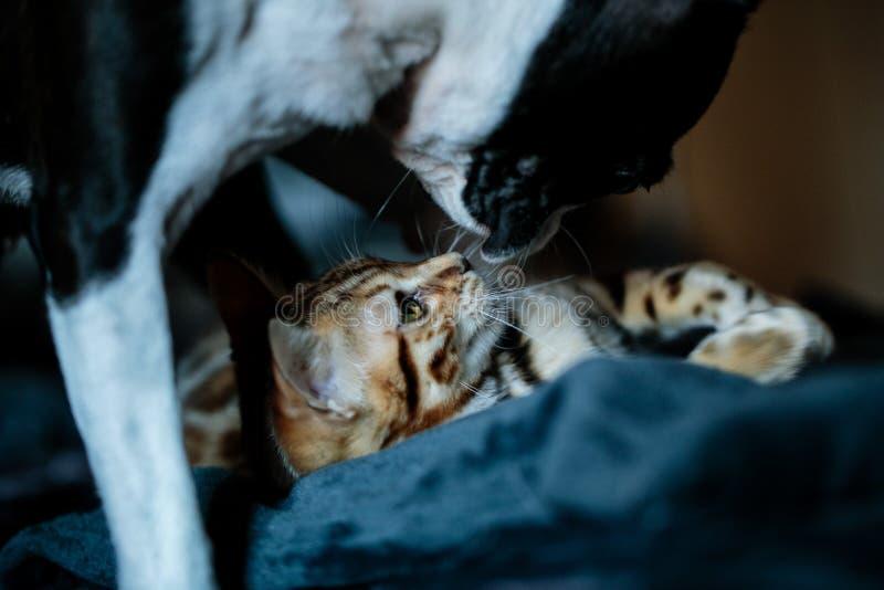 Joven gatito bengalí con Boston Terrier foto de archivo