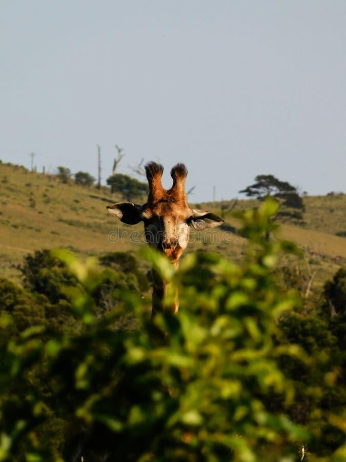 Joven y curioso Giraffe fotografía de archivo