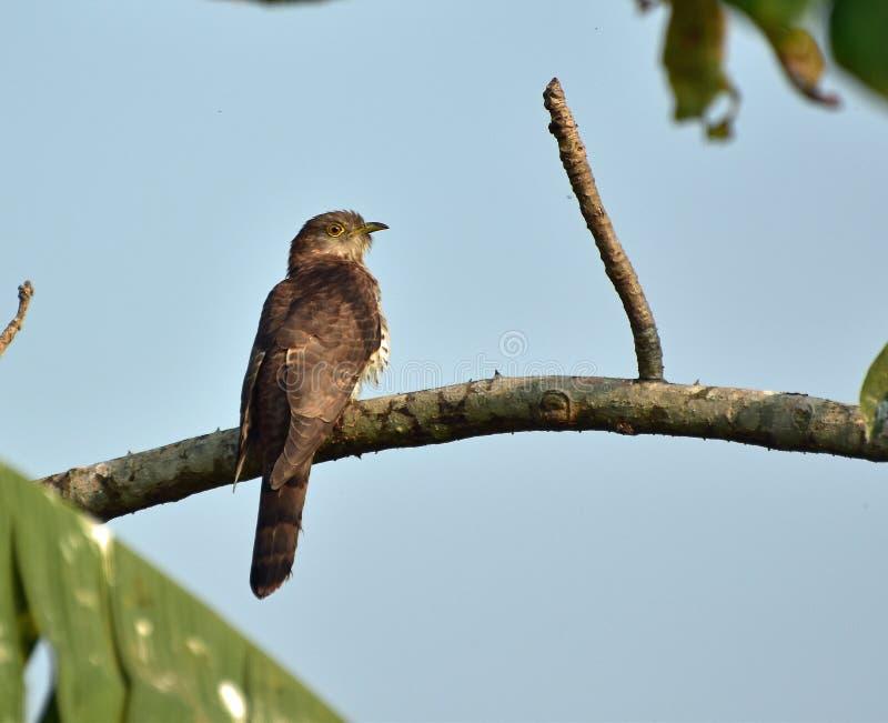 Jovens comuns do falcão-cuco fotos de stock