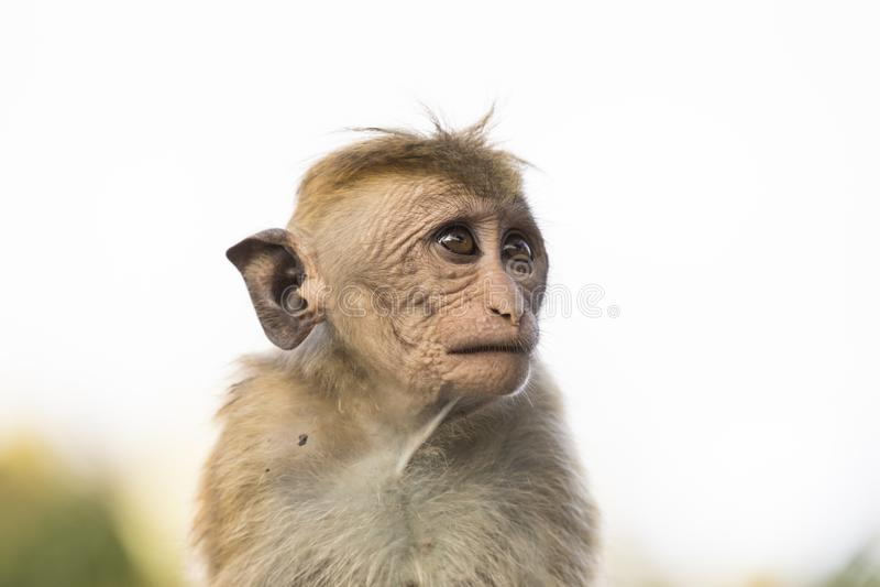 Jovens, macaco de Macaque de vista feio, Kandy, Sri Lanka fotos de stock