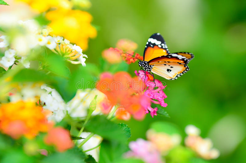 Download Joy of garden (butterfly) stock photo. Image of lantana - 22219020