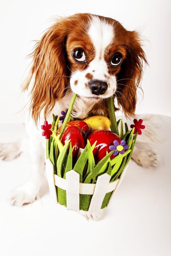 Joyeuses Pâques Concept de chien de Pâques Épagneul de roi Charles tenant le panier d'oeuf de pâques avec les oeufs rouges et col photos libres de droits
