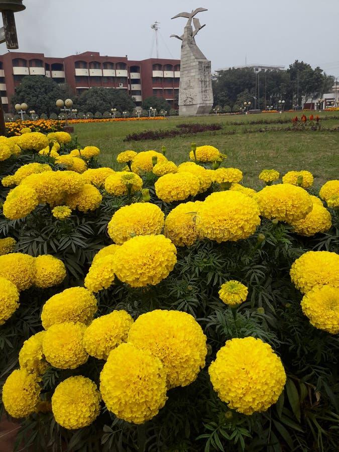 Joyeux or de floraison dans le campus images libres de droits