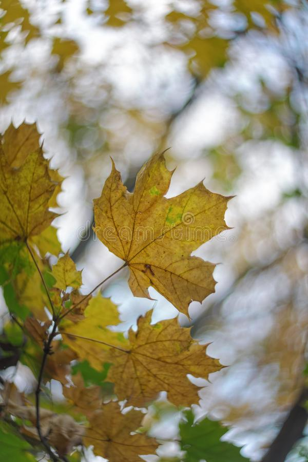 Maple leaves in autumn fall stock photos