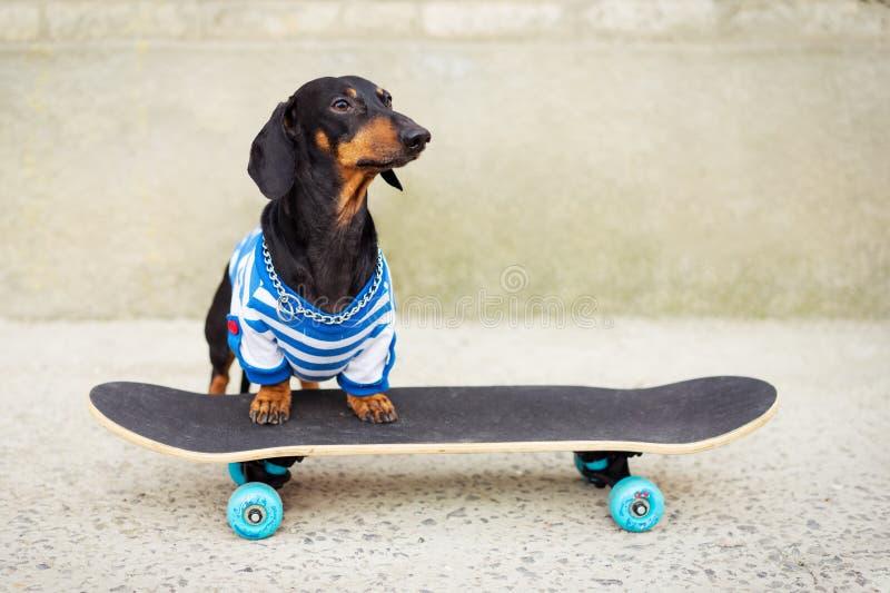 Joyful dog dachshund, black and tan, dressed in a T-shirt riding a skateboard on the street.  stock photo
