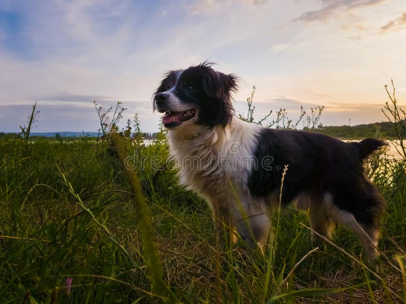 Joyful dog walking outdoors in a summer evening, stands on a green grass field looking attentive over sunset background in a stock photography