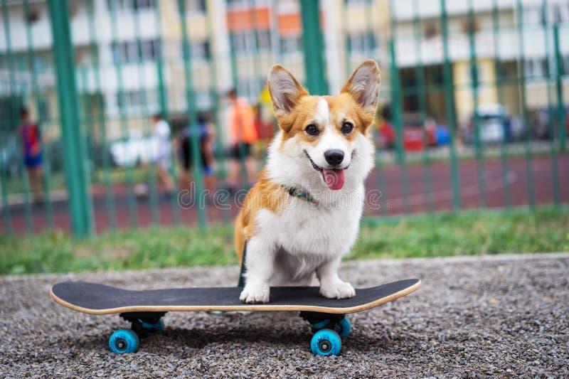 Joyful dog welsh corgi pembroke riding a skateboard on the street stock images
