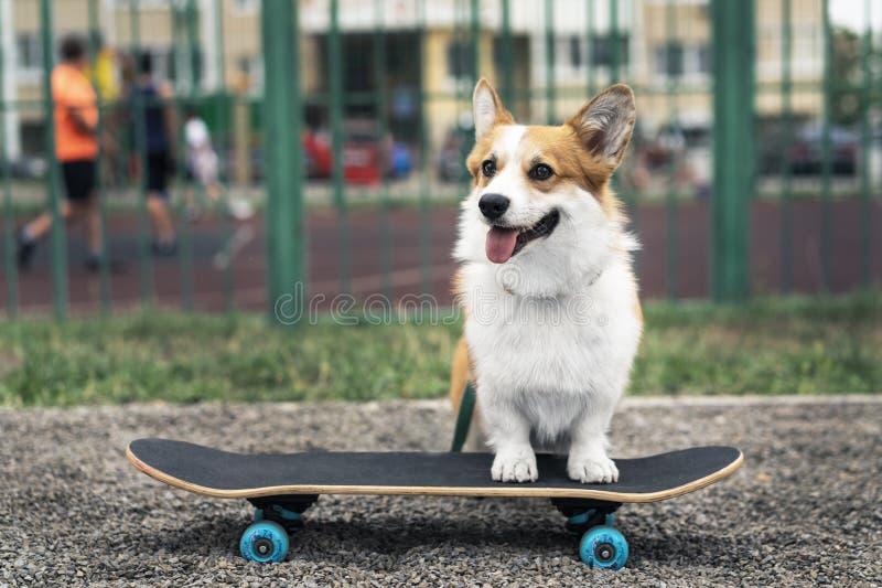 Joyful dog welsh corgi pembroke riding a skateboard on the street royalty free stock photo