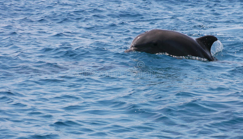 Joyful Dolphin. Royalty Free Stock Photo