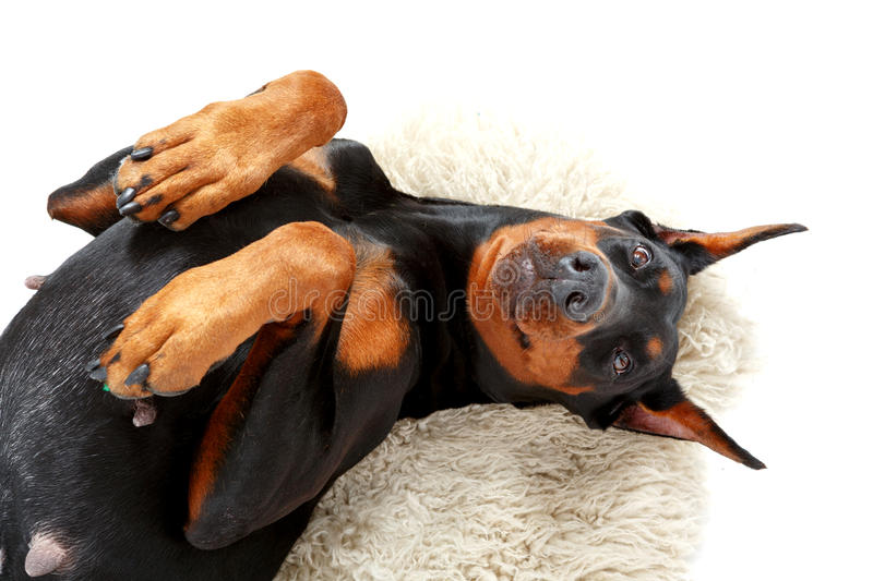 Joyful lying dog on white carpet. Playful humour. Joyful lying doberman pinscher on background of white carpet with bended paws stock photos
