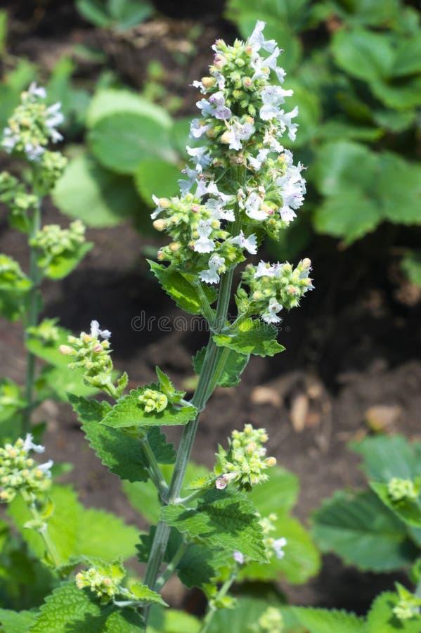 jpg de la flor del toronjil fotografía de archivo libre de regalías