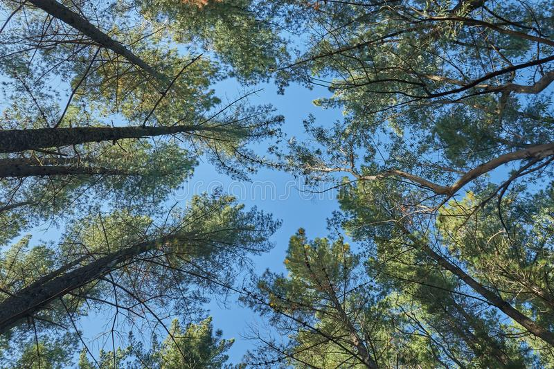Big pines and sky. Big pines crowd looking to the sky stock image