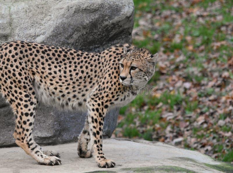 Jubatus Acinonyx гепарда стоковое фото