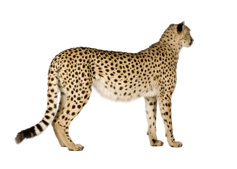 jubatus de guépard d'acinonyx photos stock