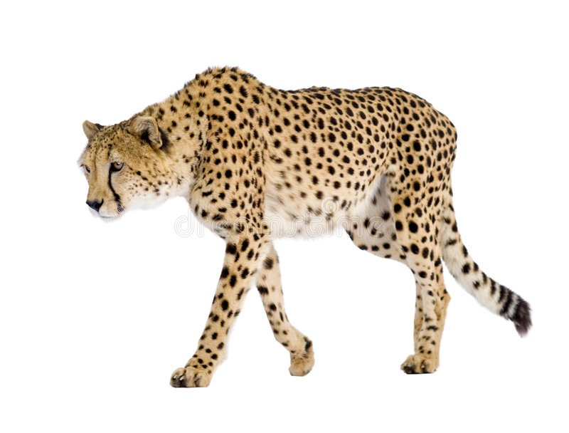 jubatus de guépard d'acinonyx photo libre de droits