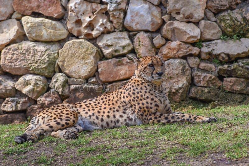 Jubatus del guepardo, del Acinonyx, un gato grande con el cuerpo delgado, una pequeña cabeza redondeada, pecho profundo, piernas  fotos de archivo