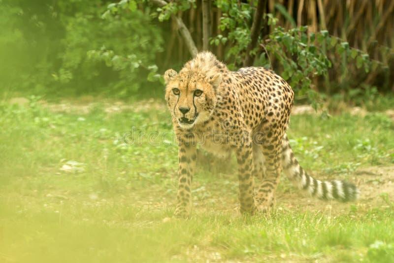 Jubatus di acinonyx del ghepardo, bello gatto nella cattività allo zoo, grande gatto che cammina sull'erba, predatore africano el immagine stock