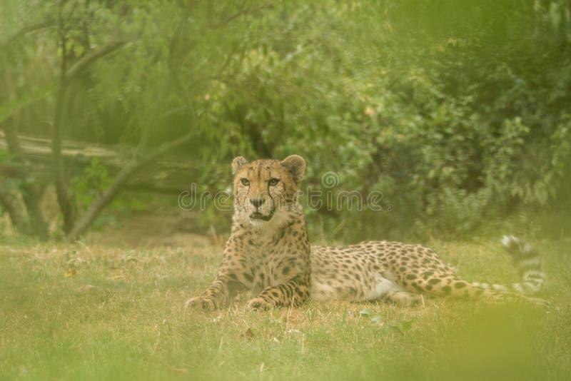 Jubatus di acinonyx del ghepardo, bello gatto nella cattività allo zoo, grande gatto che cammina sull'erba, ritratto fotografia stock libera da diritti