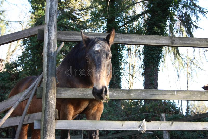 Jucznego zwierzęcia jeździeckiej bestii brązu dorosły koń wśrodku swój klauzury zdjęcie stock