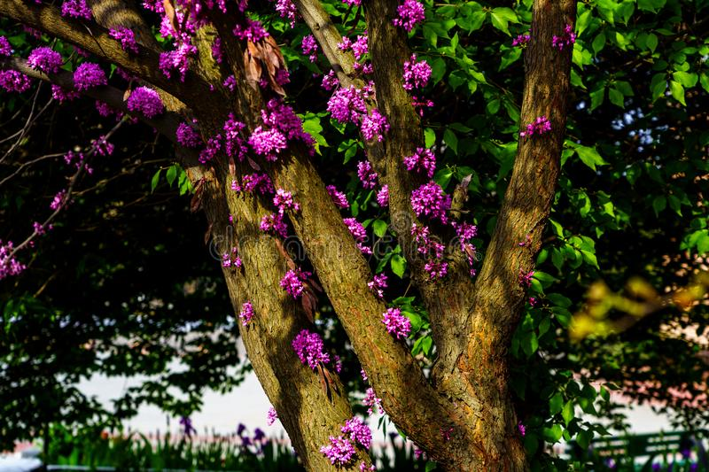 Judas tree with blossom pink flowers and inflorescences and green leaves in spring, outside in park royalty free stock photo