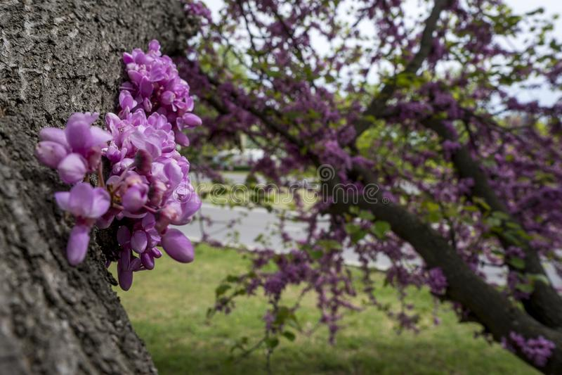 Judaszowego drzewa Cercis siliquastrum w Bułgaria zdjęcie royalty free