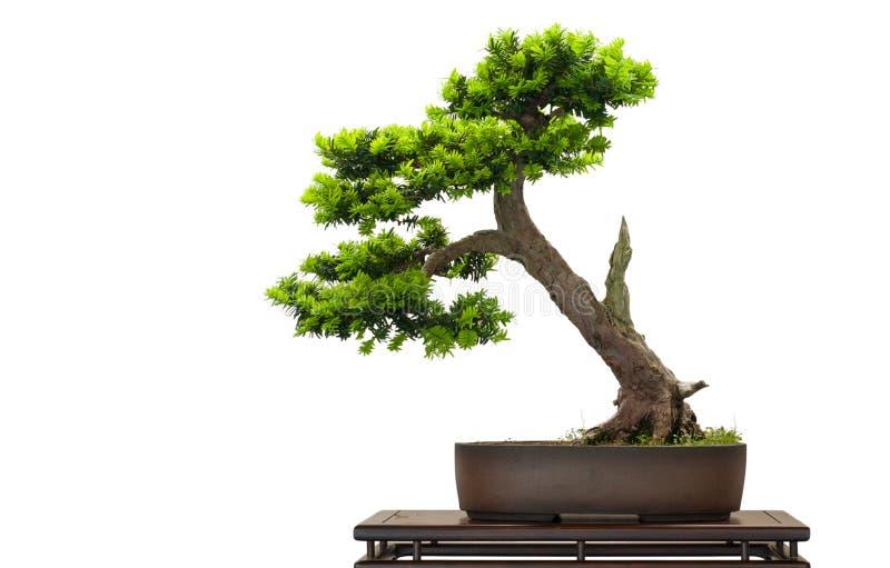 Judeu japonês como a árvore dos bonsais foto de stock royalty free