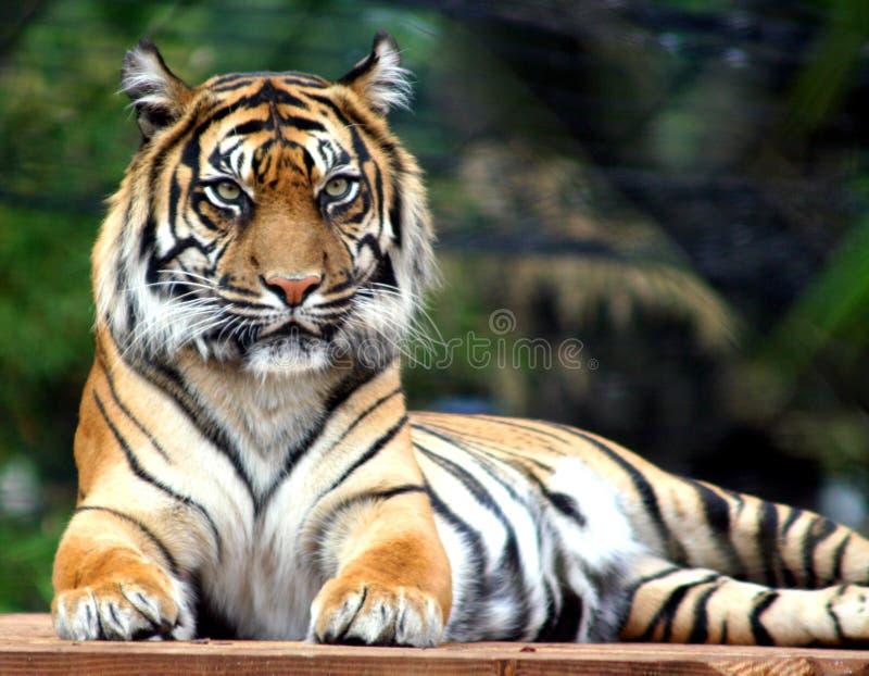The Judge. Rare Sumatran Tiger