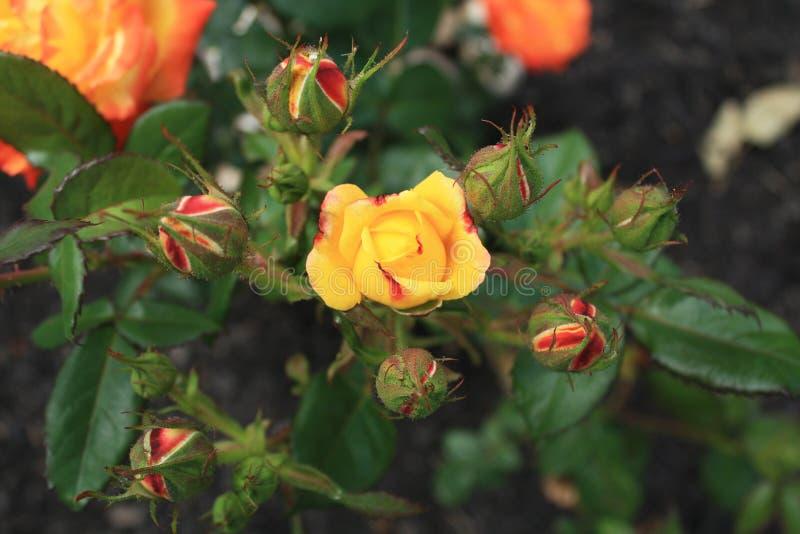 Judy Garland steg busken inom att landskap knoppar och blommor royaltyfri bild
