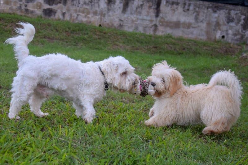 Juego blanco de dos perros en el jardín fotografía de archivo libre de regalías